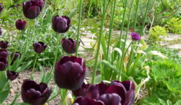 black tulips with Allium Purple Sensation