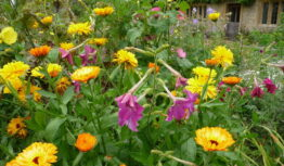 marigold and nicotiana in Somerset