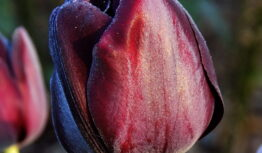 a closeup of a Queen of Night tulip at dawn
