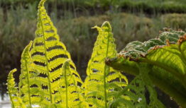 new fern fronds emerging in April