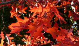 back lit pin oak leaves in autumn