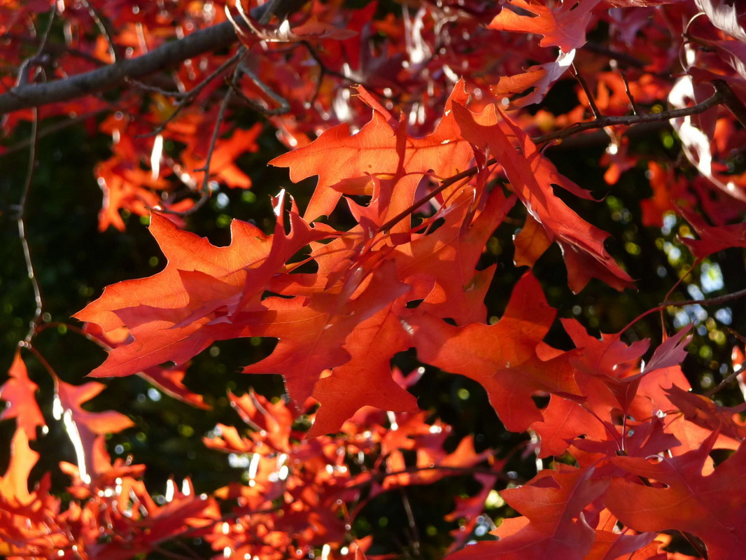 back lit pin oak leaves in autumn