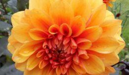 orange dahlia David Howard
