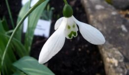 snowdrop 'Grumpy' with sad face markings