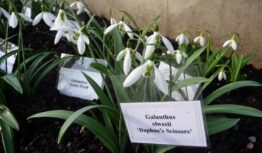 a special snowdrop with scissor markings