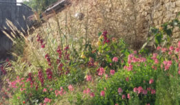 a summer grass and perenneial border with diascia personata and Penstemon Plum Jerkum